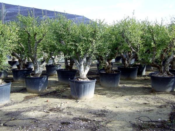Melograni ulivi secolari piante e giardini import export for Piante e giardini