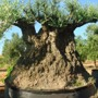 ULIVO BONSAI SECOLARE