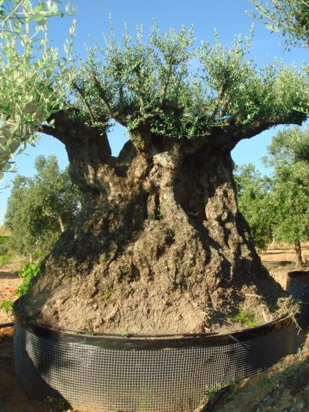 Ulivi bonsai ulivi secolari piante e giardini import for Bonsai di ulivo