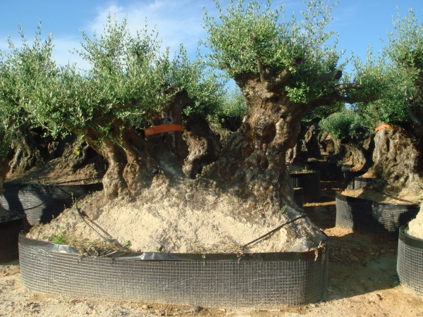 Ulivi bonsai ulivi secolari piante e giardini import for Bonsai olivo prezzi