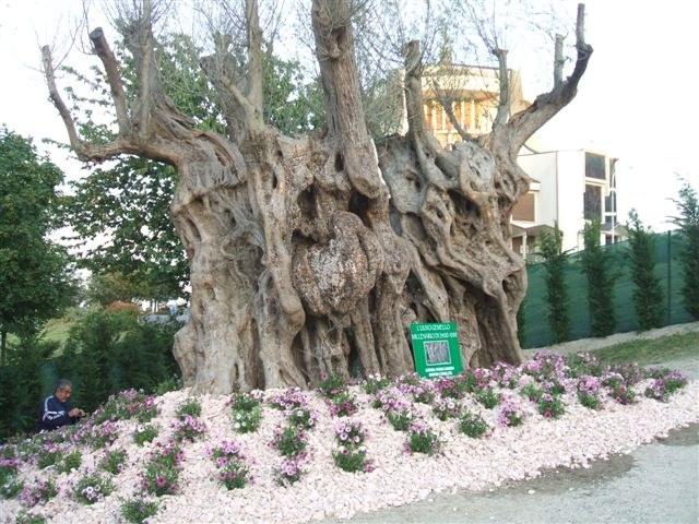 Ulivi secolari piante e giardini di giuseppe romanelli for Aiuola con ulivo
