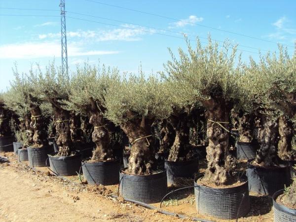 Ulivi secolari piante e giardini import export di - Giardino con ulivi ...