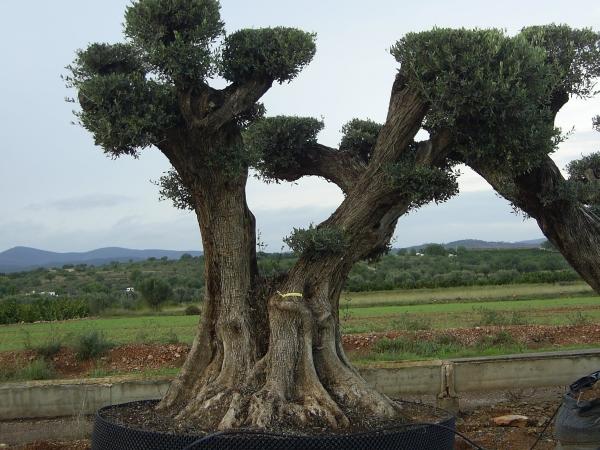 Univi ponpon ulivi secolari piante e giardini import for Aiuola con olivo